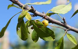贵州绿化苗木实用分享:关于樱花种植的探讨