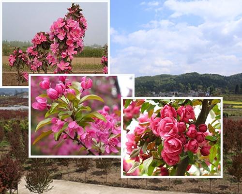 海棠花的种类及养殖方法介绍