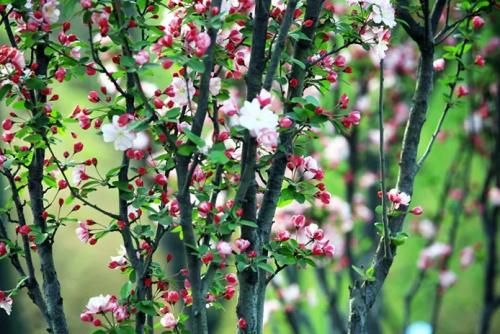海棠苗木栽培管理技术