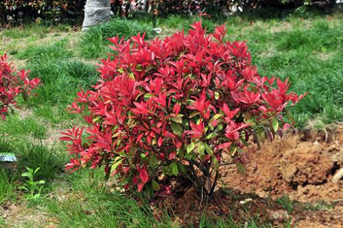 贵州绿化苗木告诉你红叶石楠养多长时间才会开花