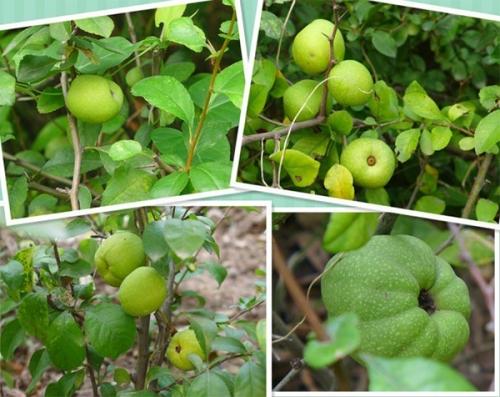 黔南皱皮木瓜(贴梗海棠)果