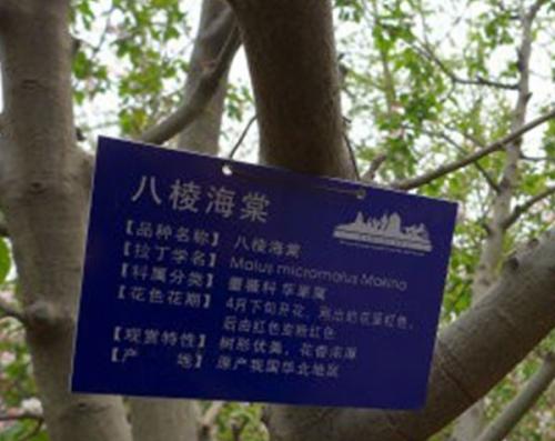 八棱海棠(白)