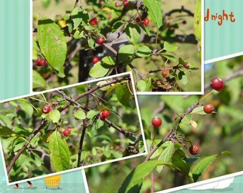 宝石 Malus 'Jewelberry'