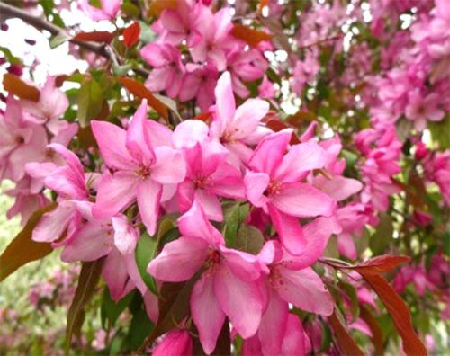粉屋顶 Malus'Pink Spire