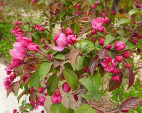 红丽 Malus'Red Splender'