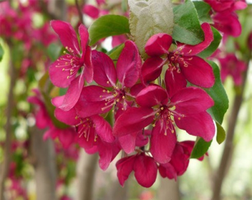 红巴伦 Malus'Red Barron'