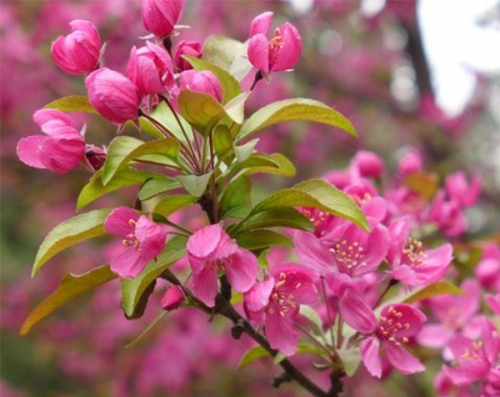 北美之王 America King Begonia (贵人果)