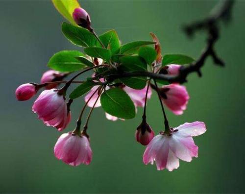 八棱海棠(红花)