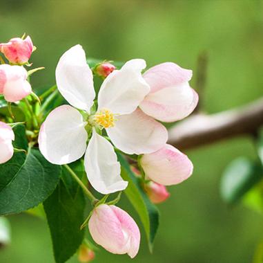 国内栽培种海棠